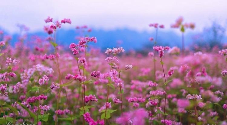 Ngắm hoa nở bạt ngàn bắt đầu một mùa lễ hội hoa tam giác mạch